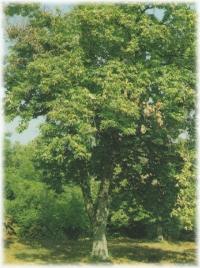 Piante di castagno vendita piante di castagno vendita castagno for Vendita piante ulivo