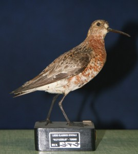 INV 414 Calidris ferruginea