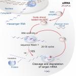 La tecnica dell'RNA Interferenza (RNAi): importanti applicazioni mediche