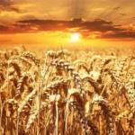 Decifrato il genoma del grano duro, varietà Svevo