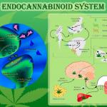 Gli endocannabinoidi come nuovi segnali molecolari nella risposta infiammatoria intestinale