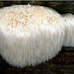 Un fungo contro l'invecchiamento